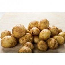 Labai ankstyvos sėklinės bulvės ADORA 5kg